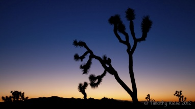 Joshua-Tree-at-Dusk-copy
