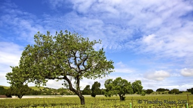 Tree-and-Vineyards-copy